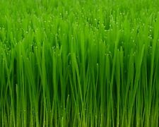 1/2 Pound Wheatgrass Seeds, Catgrass, Catnip Wheat Grass Cat Dog, Pasto De Trigo