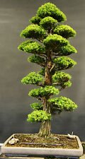 Japanese Red Cedar Cryptomeria japonica Tree Seeds Idle for bonsai(10 Nos) T-071