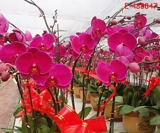 20x Hot Home Phalaenopsis Amabilis Plant Butterfly Orchid Bonsai Flower Seeds