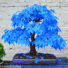 Blue Maple Tree Seed Imported American Rare Maple 10 Seeds Pack Good Germination