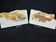 2LF Large Rare Mirrored Fossilised Fish Fossil Great Gift Decor Wyoming USA
