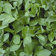 Green Manure Seeds - Field Beans - 100gms