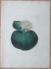 Walter: Beautiful Flowers Massonia Muricata Folio - 1843