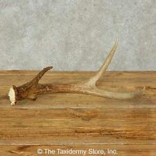 #16209 E   Whitetail Deer Taxidermy Antler Shed For Sale