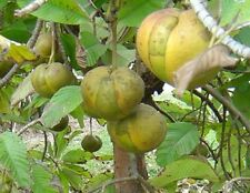 * Dillenia Indica * Elephant Apple Fruit * Evergreen Tree * 10 Fresh Seeds *