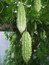 Bitter Melon 10 Seeds