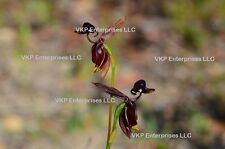 20 Flying Duck Brown/Red Orchid Flower Blooming Seed Organically & USA Grown