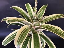 "BROMELIAD VRIESEA ""MILKY WAY"" ULTRA RARE! LARGE OFFSET!"