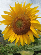 SUNFLOWER * RUSSIAN MAMMOTH * Helianthus annuus * GIANT SUNFLOWERS * SEED