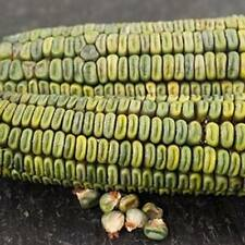 Ancient Mexican Heirloom Corn - *Oaxacan Green Dent - (Zea Mays) - 10 seeds