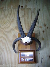 "RARE 4 HORN SHEEP ""GOLD METAL"" HORNS TAXIDERMY LOG CABIN HUNTING LODGE DECOR !!"