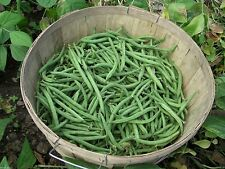 Blue Lake Bush beans, also called snap beans ~1/4 lb/ 350 Seeds - No staking !