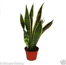 Live Snake Plant Air Purifier Plant - Sansevieria trifasciata - indoor plant