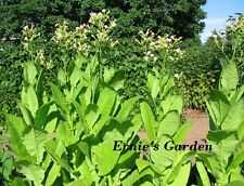 Organic Rose Tobacco seed kit, NEW! Grow your own natural tobacco in 2016!