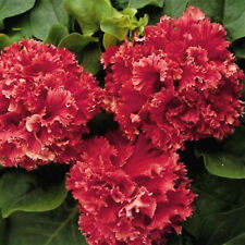 RED Double Valentine ☆ RED PETUNIA ☆ 40+ Pelleted Seeds