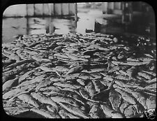 Glass Magic Lantern Slide 4000 SALMON C1910 PHOTO FISHING CANADA ?