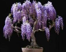 6 x Chinese Wisteria tree seeds. Tree seeds that can be used for bonsai.