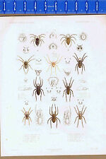 Arachnids, Spiders, Genus: Lycosa, Oecobius & Seytodes-1849 Zoology Lilithograph