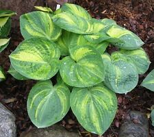 "HOSTA ICE AGE TRAIL'~White Bloom~ ""Plantantain Lily"" 15+ Perennial Seeds"