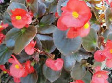 250 Red Wax Begonia Seeds FLOWER SEEDS