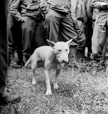 Willie English Bull Terrier Pet of US Army General Patton 7x5 Inch Reprint Photo