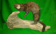 Ferocious MINK Trophy Mount Hunting Taxidermy