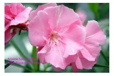 Nerium Oleander Apple Blossom Pink - 50 seeds Buy 1 Get 1 FREE + FREE Shipping