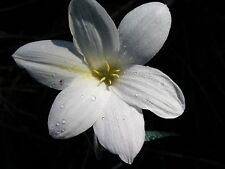 Rain Lily, Zephyranthes Antarcticia , 1 bulb, NEW, habranthus