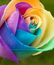 RAINBOW ROSE FLOWER SEEDS - BULK - 100 SEEDS