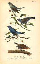 Rare 1888 Antique Audubon Bird Print ~ Indigo Bunting ~ Excellent Details!