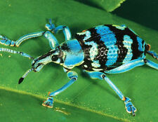 """UGLY BUG"" Eupholus Beetle Blue Black Nature 100 Pcs BOXLESS Jigsaw Puzzle *NEW*"