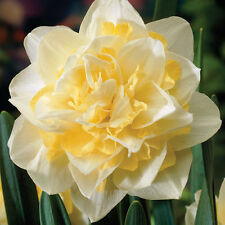 WHITE LION~DOUBLE daffodil/narcissus~8 XL Bulbs~FRAGRANT FLOWERS~PRECHILLED