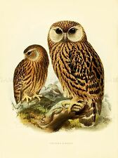 DRAWING BIRD ROWLEY KEULEMANS LAUGHING OWL ART PRINT POSTER LAH347A