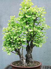 Ginkgo biloba (Maidenhair tree) 5 Seeds(#004)