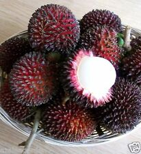 Tropical Fruit Pulasan / Nephelium mutabile - 2 Small seedling Live Plant