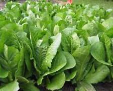 ROMAINE LETTUCE SEED, PARIS ISLAND, HEIRLOOM, ORGANIC, NON GMO, 50+ SEEDS,