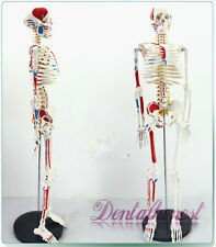 Best 85cm Human Anatomical Anatomy Skeleton Medical Model Muscle +Stand Fexible