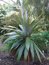 Cordyline Indivisa - Stunning Rare Mountain Cabbage Tree - 10 Fresh Seeds