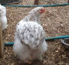 6+ FRIZZLE Cochin Chicken Hatching Eggs!  (You Asked for it & You Got It!)