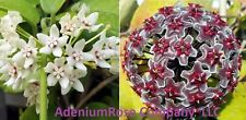 3 pack Hoya plant Very Limited Special Get 3 Mature wax plants flowering  size