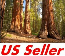 40 PCS Seeds Giant Sequoia Seeds T39, Rare Big Tree Seeds
