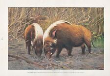 1910 NATURAL HISTORY PRINT DOUBLE SIDED ~ WILD SWINE / RIVER HOGS ~ LYDEKKER