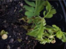 Tamarind Plant For Sale Tropical Fruits Tamarind