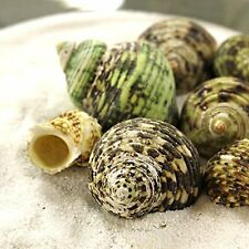 "1/2 lbs Green Turbo Sea Shell 1.5"" to 2.5"" for Hermit Crab, Aquarium & Air Plant"