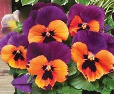 50 Pansy Seeds Faces Purple And Orange FLOWER SEEDS