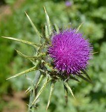 mind. 50 Samen Mariendistel (Silybum marianum) seeds semi Heilpflanze Gemüse