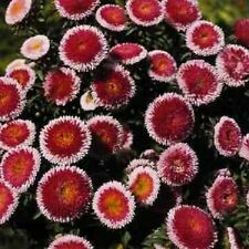20+  GIANT RED MOON ASTER FLOWER SEEDS / RESEEDING ANNUAL