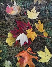 1950's Vintage NATURE LANDSCAPE Fall Leaves Foliage Photo Art 16x20 ELIOT PORTER
