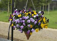 Pansy 'Freefall' Seeds - Trailing Variety,Breeding Breakthrough