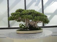 Colección # 4-higueras-ideal Interior Bonsai tema - 10 paquetes de semillas